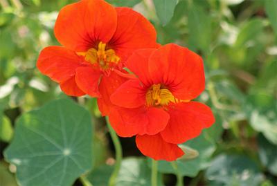 Oost indische kers planten
