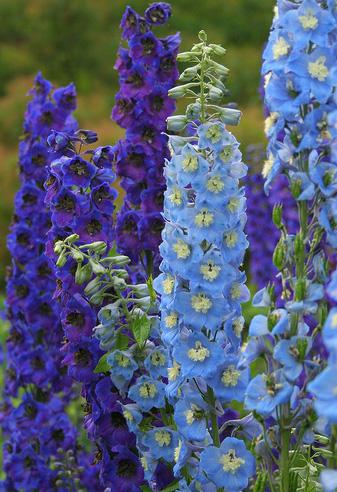 Ridderspoor, paars en blauw