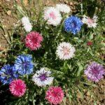 Korenbloemen wit, roze en blauw